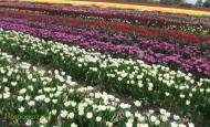 Zaproszenie na VI Międzynarodowe Targi Tulipanów