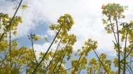 Gospodarz w polu i rzepak w fazie kwitnienia cz2
