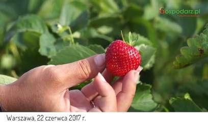 Komentarz eksperta dotyczący rynku truskawek 2017 czerwiec