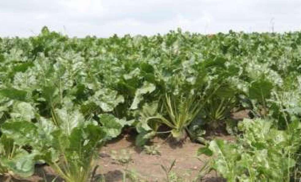 Ubezpieczenie uprawy buraka cukrowego