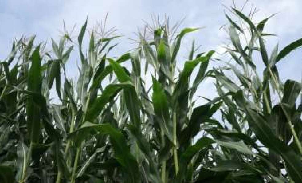 Ubezpieczenia upraw kukurydzy